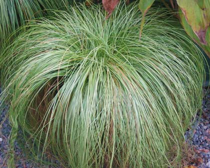 Frosted Curls Grass - Carex albula - Ornamental Grass - 10 Seeds