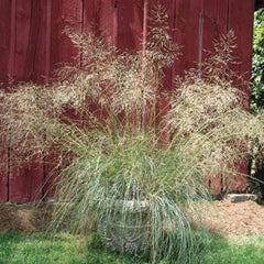 Eragrostris Wind Dancer - Eragrostris elliotii - Ornamental Grass - 10 Seeds