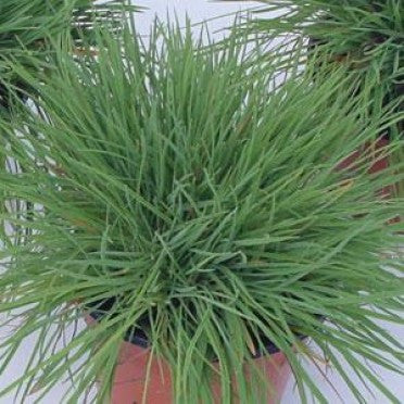 Koeleria glauca Coolio - June Grass - Ornamental Grass - 10 Seeds