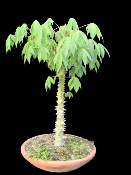 White Silk Cotton Tree - Kapok - Exotic Tree / Bonsai - Ceiba pentandra - 5 Seeds