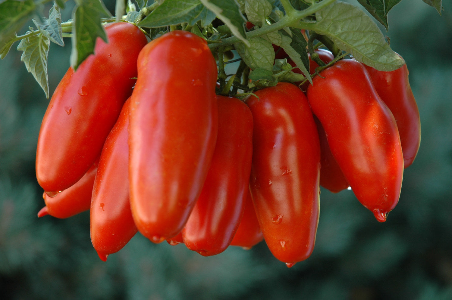 San Marzano Paste Tomato - Lycopersicon Esculentum - Vegetables - 10 Seeds - ORGANIC