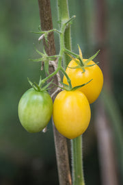 Ivory Egg Tomato - Lycopersicon Esculentum - Vegetables - 10 Seeds - ORGANIC