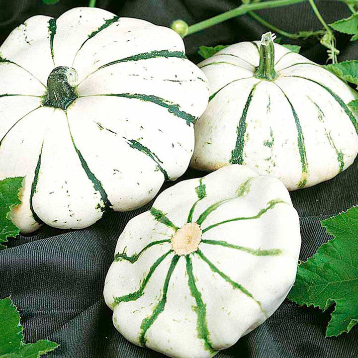 Jaune et verte scalloped squash / Patty Pan - Bulk Vegetable Seeds - 20 grams