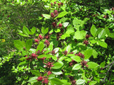 Carolina Sweet Shrub - Calycanthus floridus - Shrub / Bonsai Tree - 5 Seeds