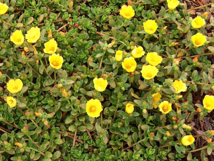 Yellow Purslane Herb - Portulaca oleracea sativa - 100 Seeds