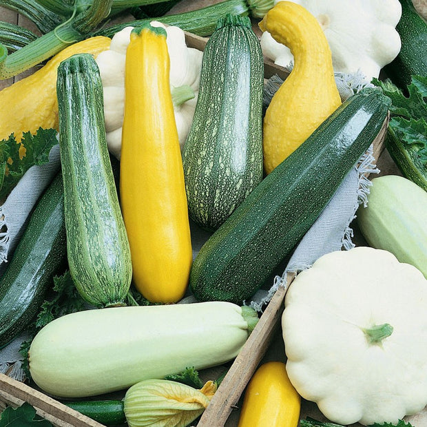 Squash Summer Melody Mix - Cucurbita pepo - Heirloom Vegetable - 20 Seeds