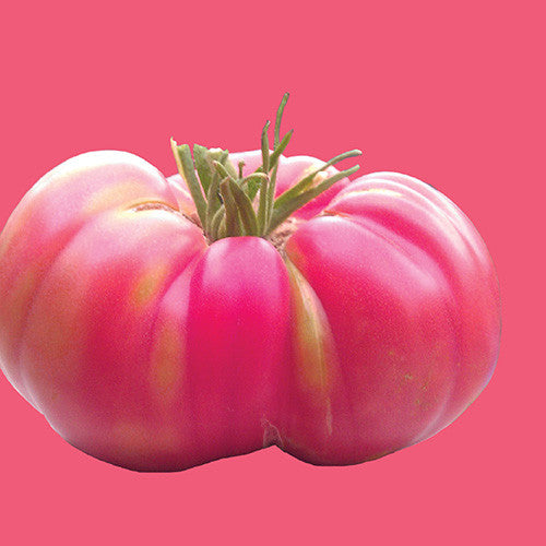 Clear Pink Tomato - Solanum lycopersicon - Heirloom Vegetable - 50 Seeds