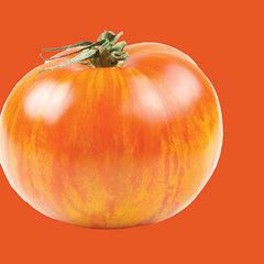 Flame Orange Tomato - Solanum lycopersicon - Heirloom Vegetable - 50 Seeds