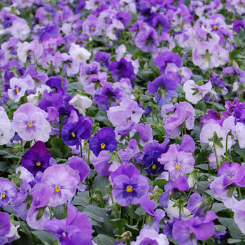 Pansy Matrix Lavender Shades - Viola wittrockiana - Annual Flower - 10 Seeds