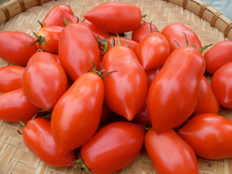 Napoli VF Fiaschetto Paste Tomato Heirloom Vegetable - Lycopersicon Esculentum - 10 Seeds - ORGANIC