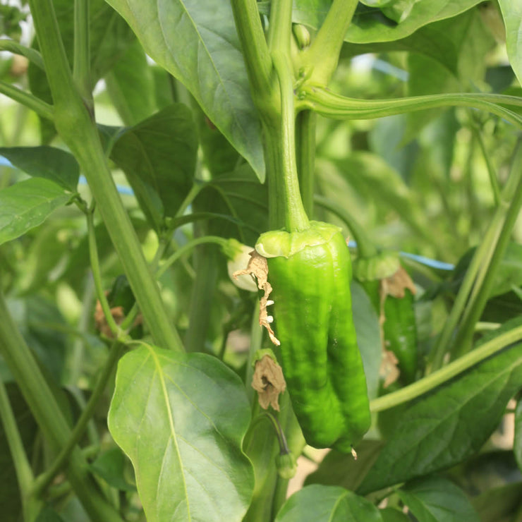 Padron Hot Chilli Pepper - ORGANIC - Italian Heirloom Vegetable - 10 Seeds