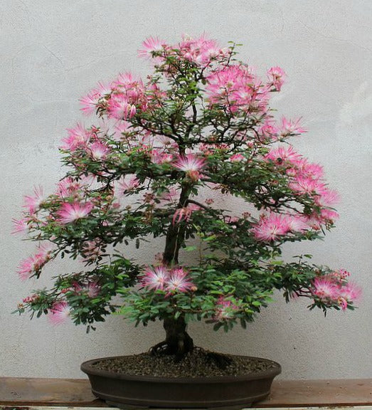 Persian Silk Tree - Albizia julibrissin - Exotic Bonsai Tree / Shrub - 5 Seeds
