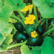 Cupcake Squash - Squash /Zucchini Vegetable - 5 Seeds