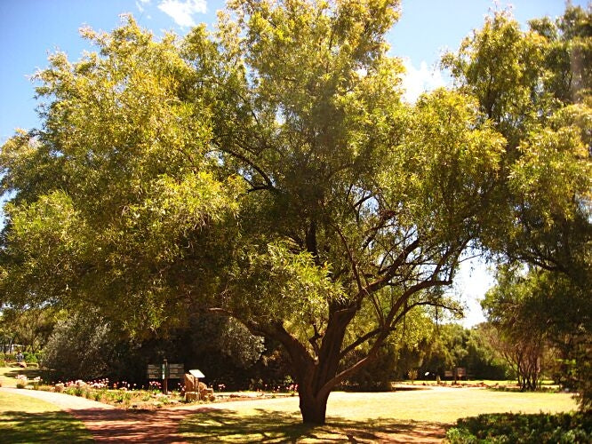 Searsia lancea - Karee tree - Indigenous Tree - 10 Seeds