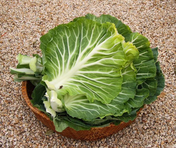 Couve Tronchuda Portuguese Kale / Cabbage  - Heirloom Vegetable - B. oleracea - 100 Seeds