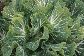 Couve Tronchuda Portuguese Kale / Cabbage - Bulk Vegetable Seeds - 200 grams
