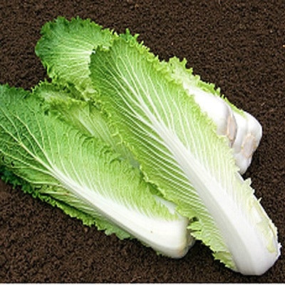Granaat Chinese Cabbage - Brassica Pekinensis - Vegetable - 100 Seeds