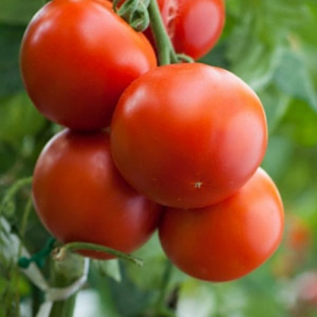 Rodade Tomato - Bulk Vegetable Seeds - 20 grams