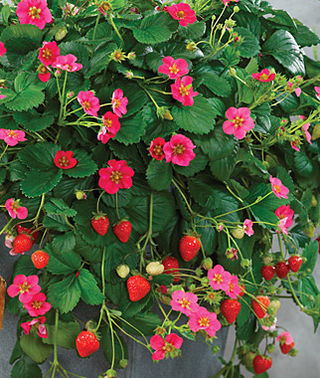 Toscana F1 Strawberry - Bulk Fruit / Berry Seeds - 100 Seeds