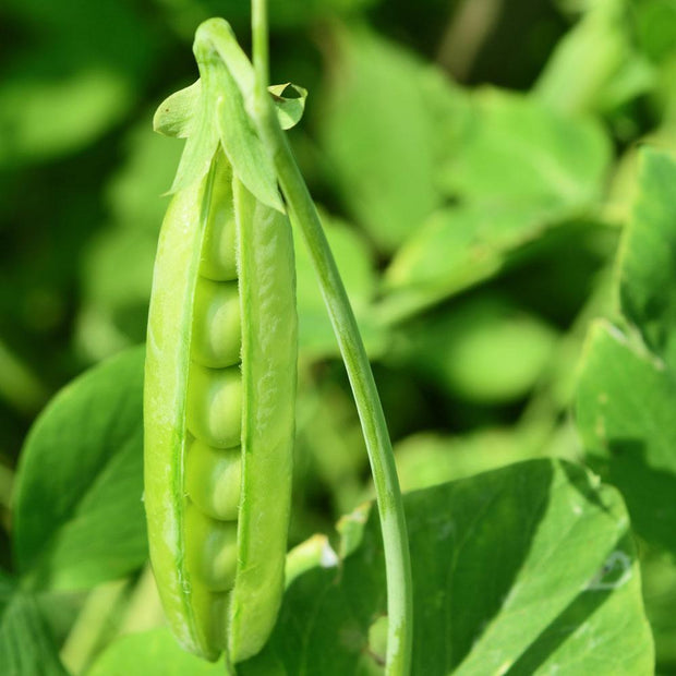 Cascadia Green Peas - Pisum Sativum - Vegetable - 25 Seeds