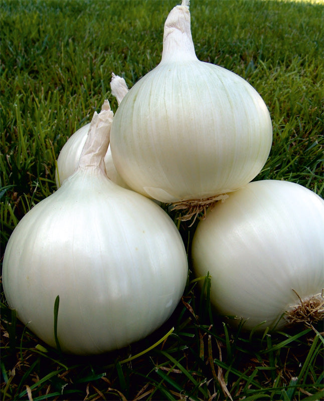 White Texas Grano Onion - Bulk Vegetable Seeds - 50 grams