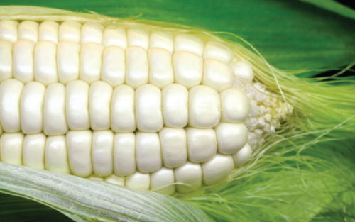 Border King Open Pollinated White Maize / Corn - Zea Mays - Vegetable - 25 Seeds