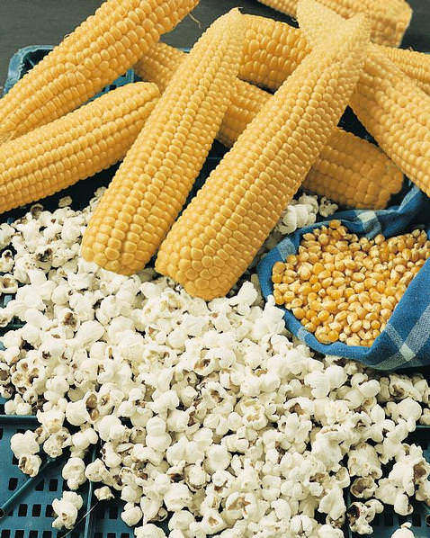 Yellow Popcorn - Heirloom Vegetable - 25 Seeds