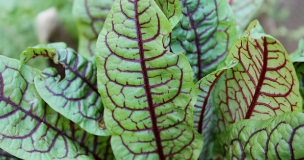 Bloody Sorrel Seeds - Herb - 100 Seeds