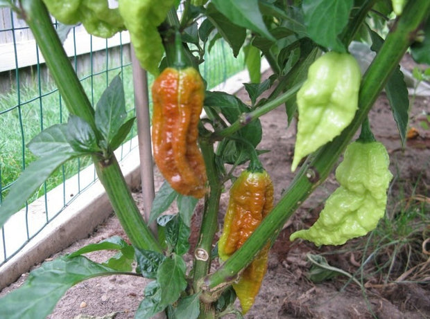 Caramel Bhut Jolokia - Chilli Pepper - Capsicum Chinense - Extremely Hot - 5 Seeds