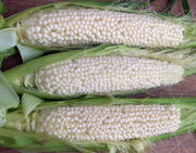 Country Gentleman Sweetcorn - Zea mays - Heirloom Vegetable - 10 Seeds