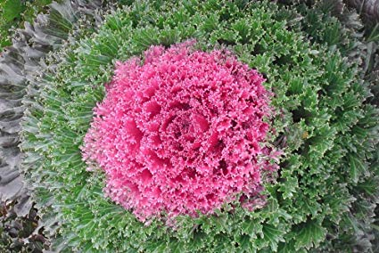 Ornamental Flowering Kale - Kamome Red - 10 Seeds