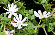 Gardenia cornuta - Natal Gardenia - Indigenous South African Shrub / Tree - 10 Seeds