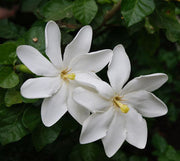 Gardenia thunbergia - White Gardenia - Indigenous South African Shrub / Tree - 10 Seeds
