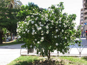 Gardenia volkensii - Transvaal Gardenia - Indigenous South African Shrub / Tree - 10 Seeds