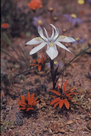 Moraea Fugax - Indigenous South African Bulb - 10 Seeds