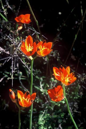 Ornithogalum Maculatum - Indigenous South African Bulb - 10 Seeds
