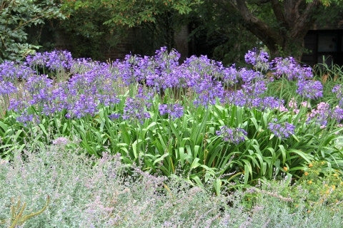 Agapanthus africanus - Indigenous South African Bulb - 10 Seeds