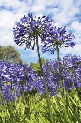 Agapanthus nutans - Indigenous South African Bulb - 10 Seeds