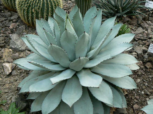 Agave potatorum - Butterfly Agave - Exotic Succulent - 10 Seeds