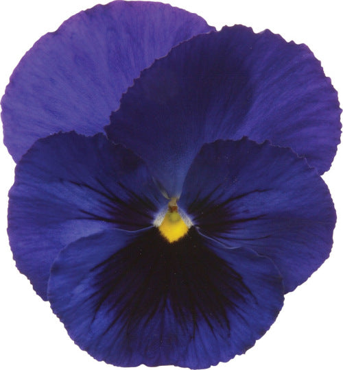 Pansy Matrix - Blotch Blue - Viola wittrockiana - 10 Seeds