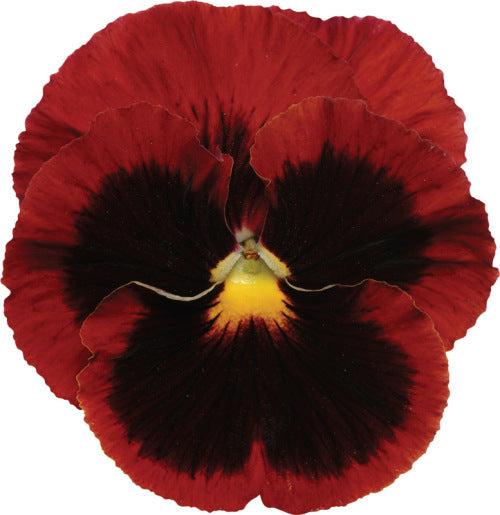 Pansy Matrix - Blotch Red - Viola wittrockiana - 10 Seeds