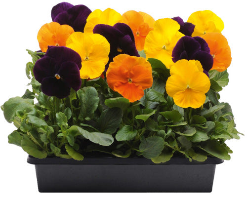 Pansy Matrix - Harvest Mix - Viola wittrockiana - 10 Seeds