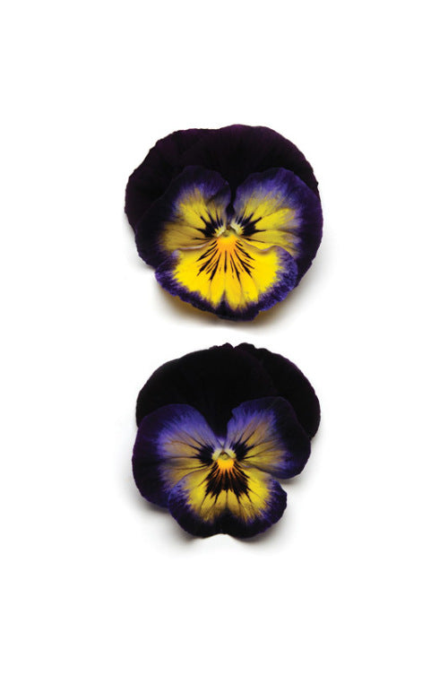 Pansy Matrix - Midnight Glow - Viola wittrockiana - 10 Seeds