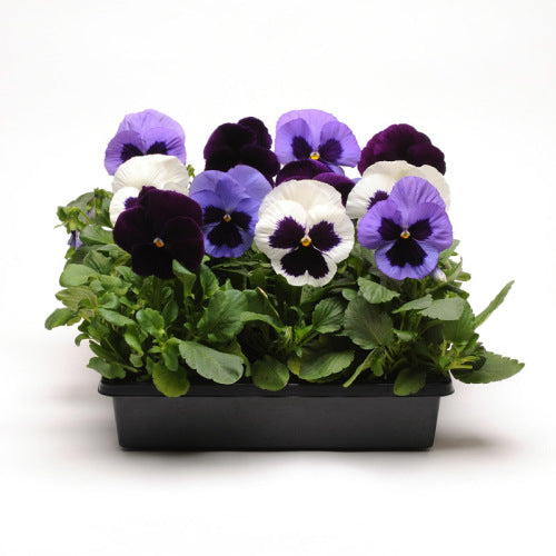 Pansy Matrix - Tanzanite Mix - Viola wittrockiana - 10 Seeds