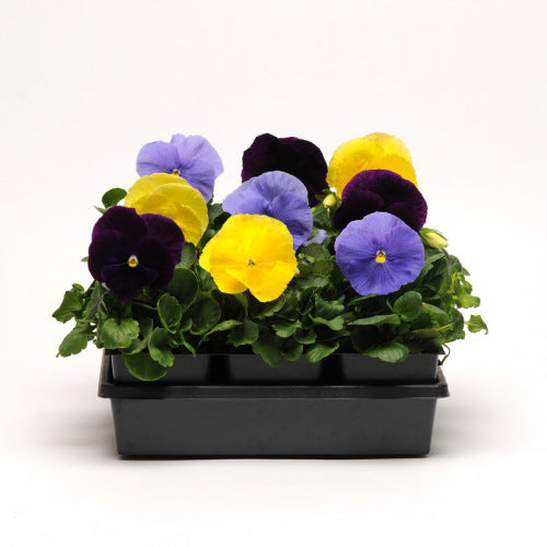 Pansy Matrix - Tricolour Mix - Viola wittrockiana - 10 Seeds