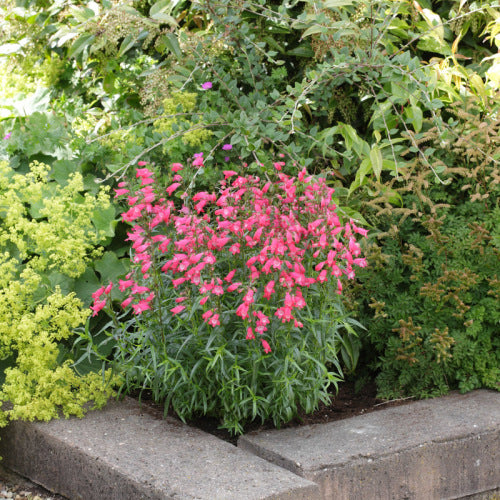 Penstemon Carillo - Red - Penstemon mexicali - 10 Seeds