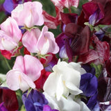 Sweet pea Old Spice - Mixed - Lathyrus odoratus - 20 Seeds