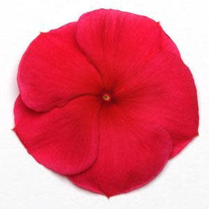 Vinca Pacifica - Dark Red - Catharanthus roseus - 10 Seeds