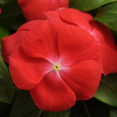 Vinca Pacifica - Orange - Catharanthus roseus - 10 Seeds