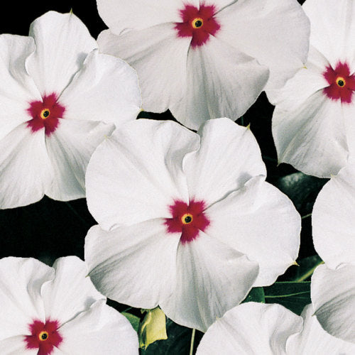 Vinca Pacifica - Polka Dot - Catharanthus roseus - 10 Seeds